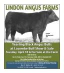 Yearling Black Angus Bulls at Lacombe Bull Show & Sale