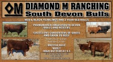 DIAMOND M RANCHING South Devon Bulls