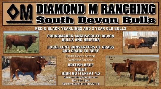Diamond M Ranching South Devon Bulls